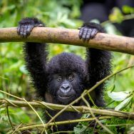 The Great Apes of Uganda and Rwanda National Geographic Expeditions