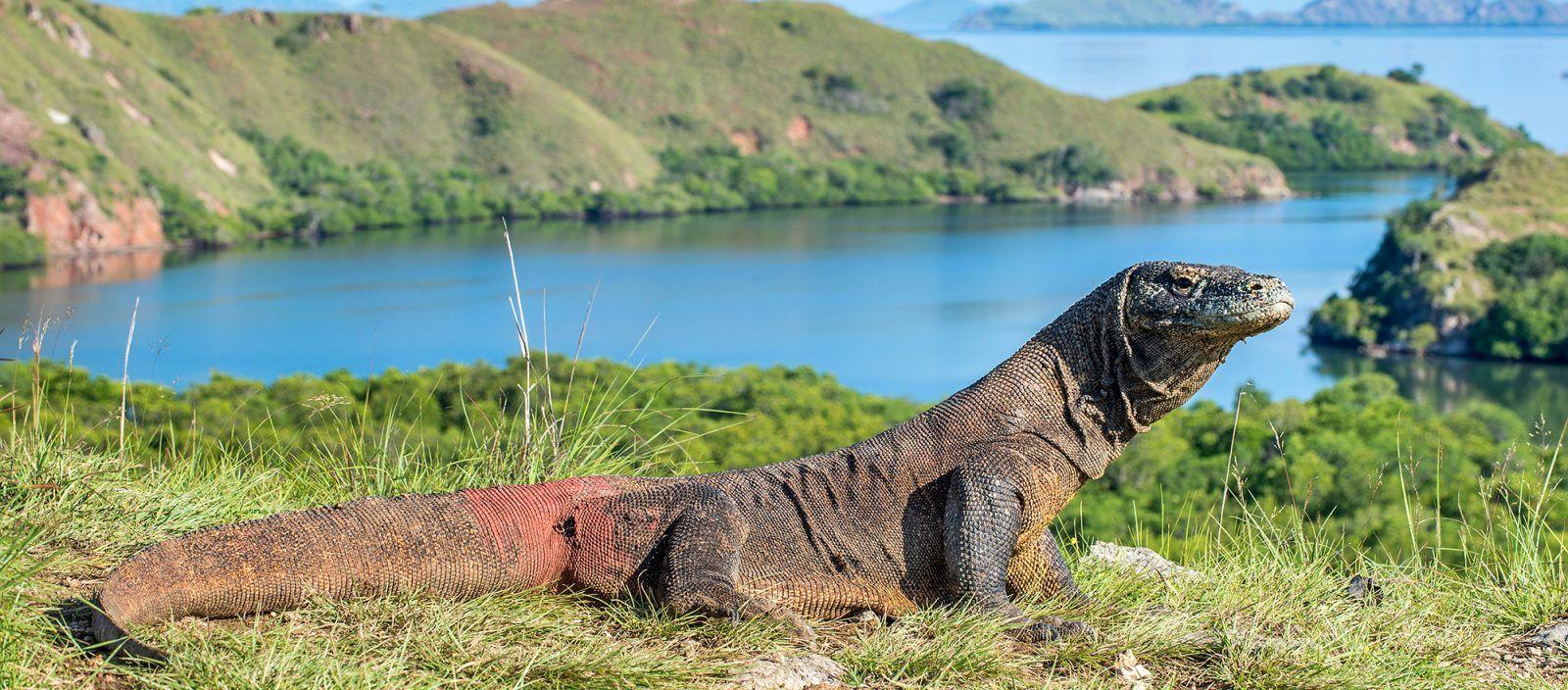 Komodo Dragon | Earth Day