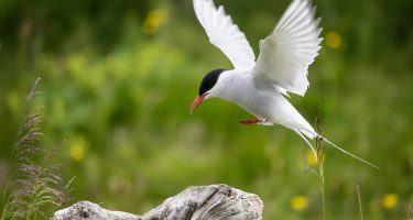 Arctic Tern | Earth Day