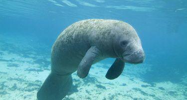 Antillean manatee | Earth Day