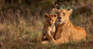 African Lion | Earth Day