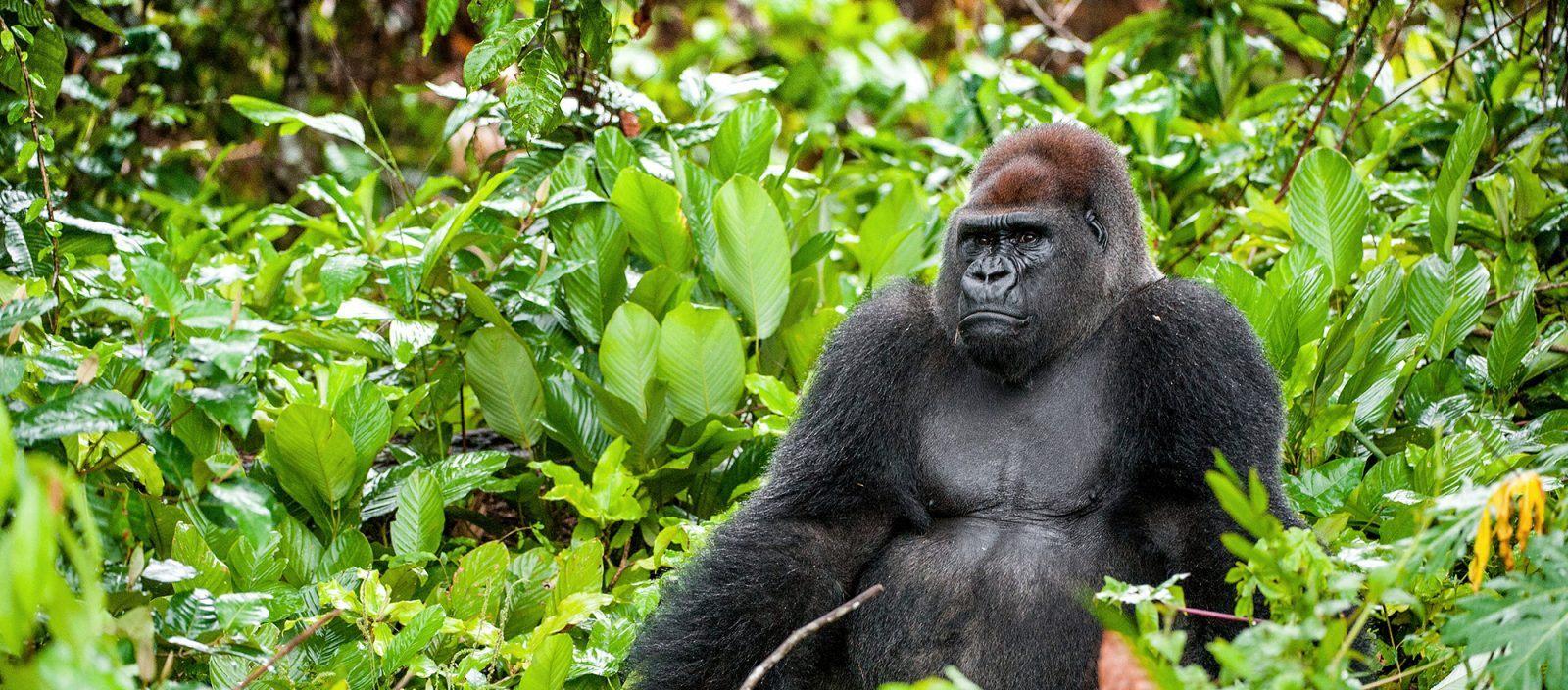 Western Lowland Gorilla | Earth Day
