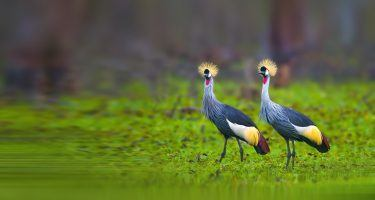Earth Day | Grey Crowned Crane