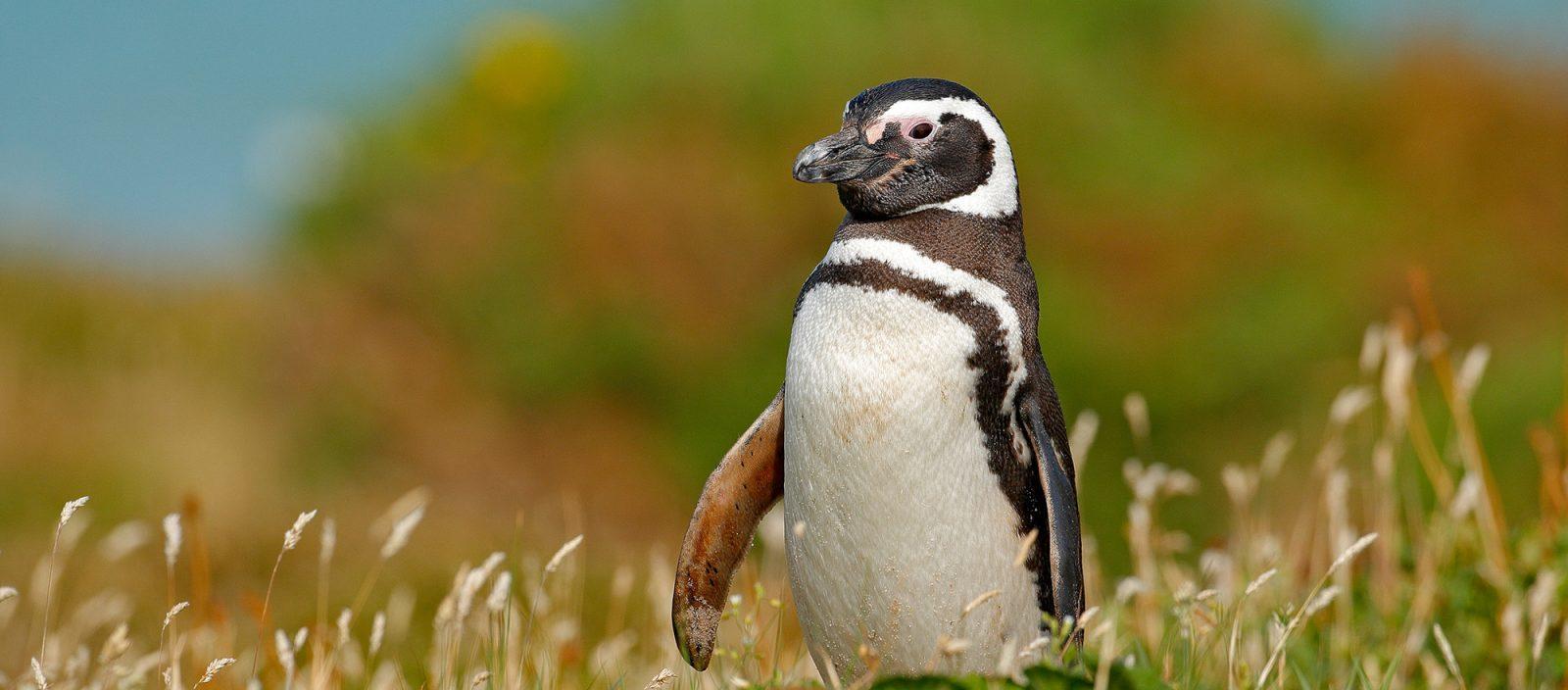 Earth Day | Magellanic penguin
